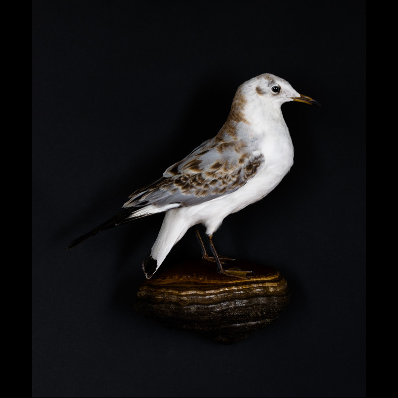Black-headed Gull Taxidermy Mount For Sale