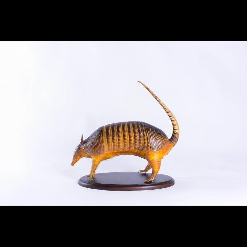 Armadillo  Taxidermy Mount For Sale