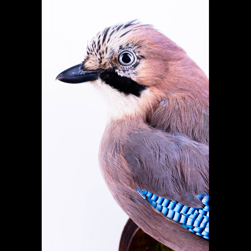 Baikal seal Taxidermy Mount For Sale