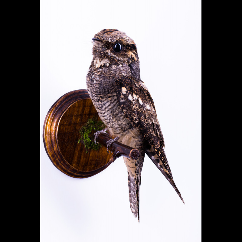 Eurasian lynx Taxidermy Mount For Sale
