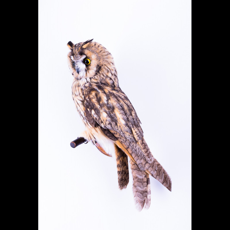 Greater spotted eagle with pheasant Taxidermy Mount For Sale