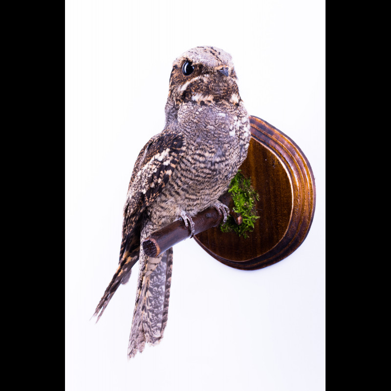 Pair Buzzard Taxidermy Mount For Sale