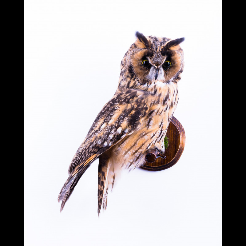 Baikal seal with perches Taxidermy Mount For Sale