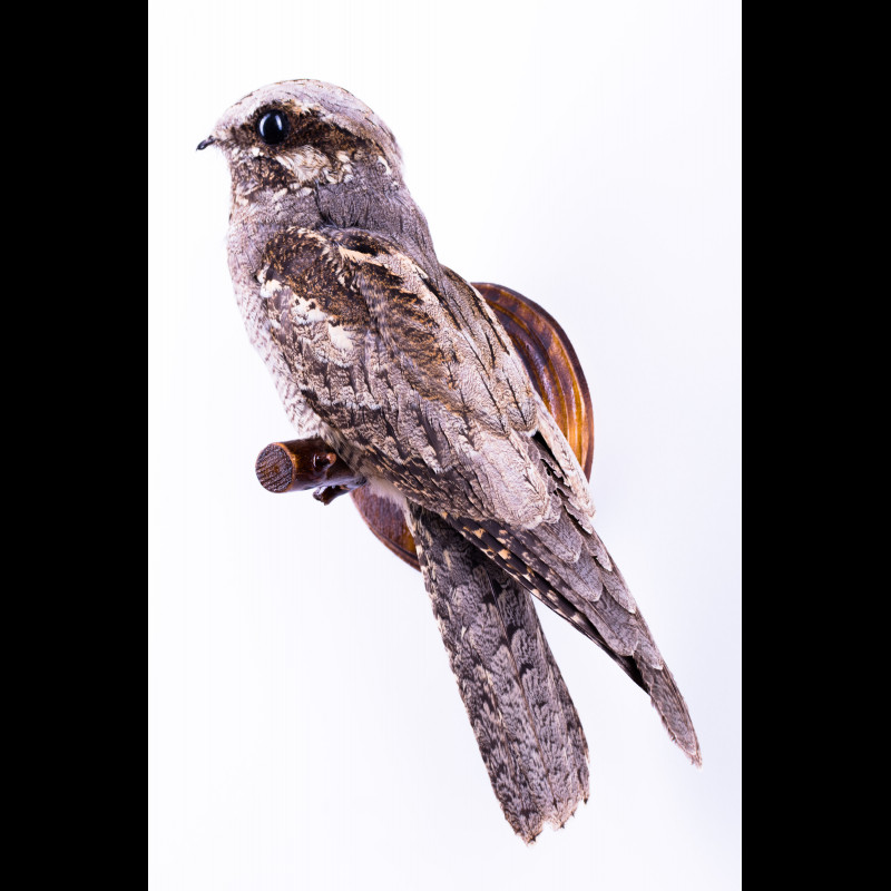 Red fox with Great crested grebe Taxidermy Mount For Sale