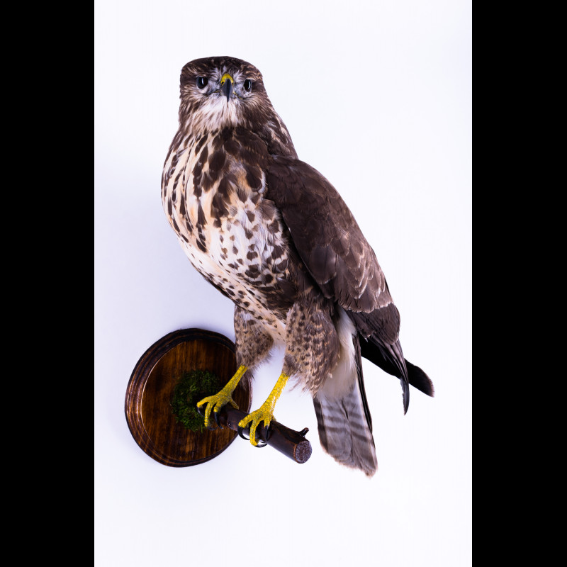 Eagle-Owl with capybara Taxidermy Mount For Sale