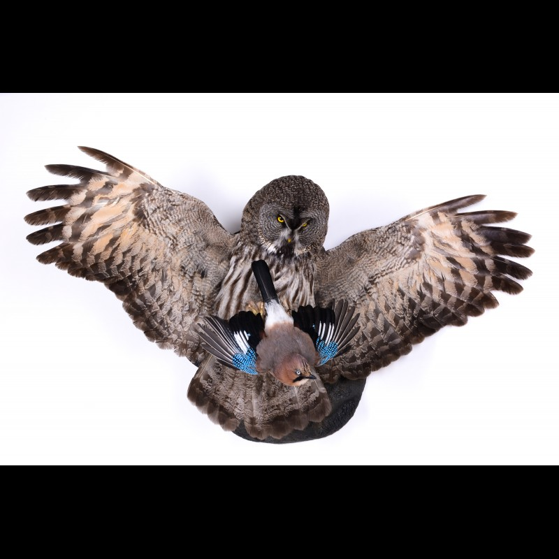 Great grey Owl with jay Taxidermy Mount For Sale