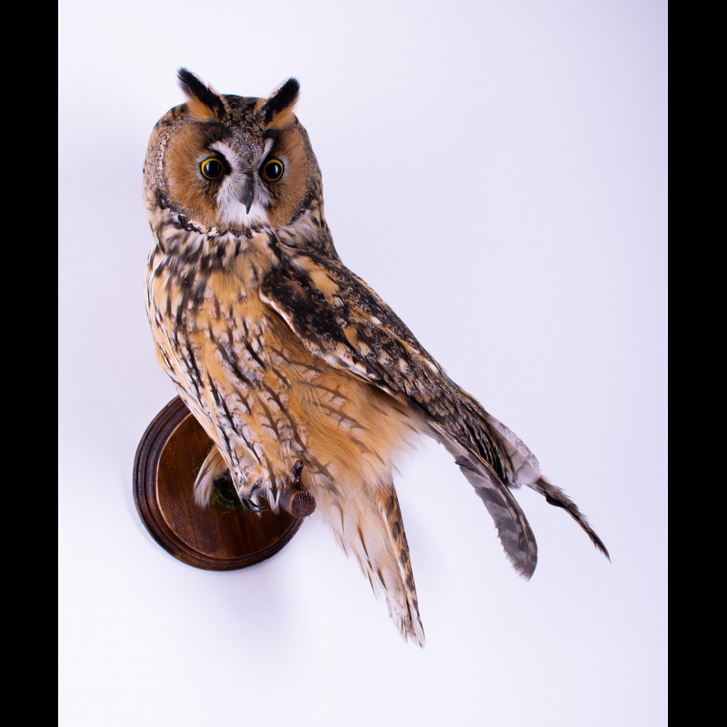 Grizzly bear Rug Taxidermy Mount For Sale