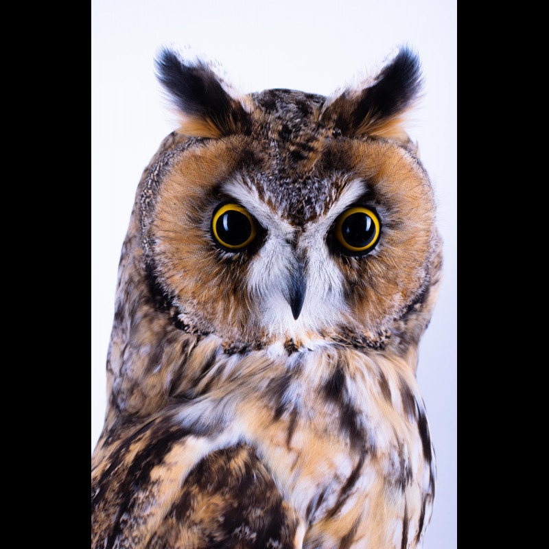 Red fox 1 Paw & 4 Claws One lot Taxidermy For Sale