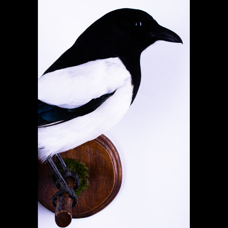 Eurasian lynx 15 Claws and 4 Paws - 1 Lot Taxidermy For Sale