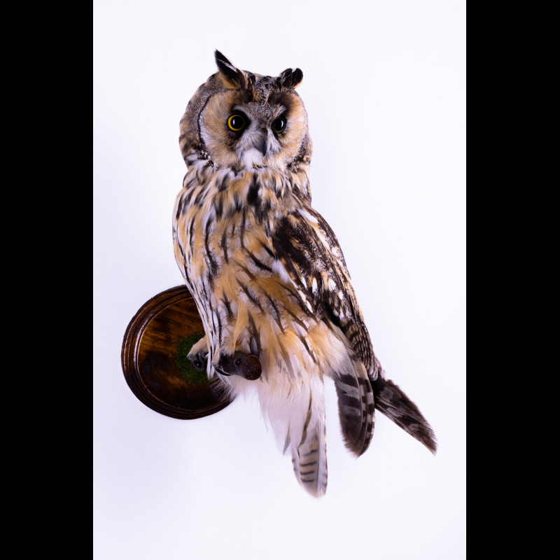 Raven with otter skull Taxidermy Mount For Sale