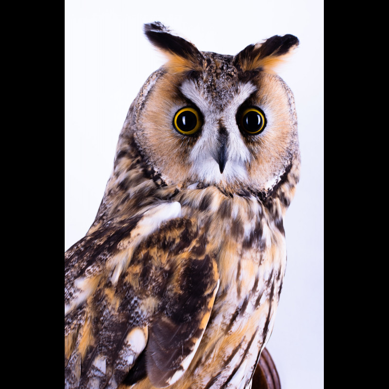Great grey Owl Taxidermy Mount For Sale