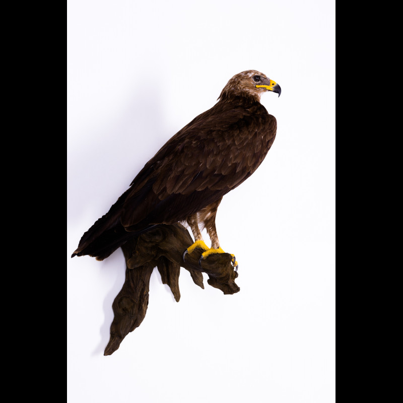 Greater spotted eagle Taxidermy Mount For Sale