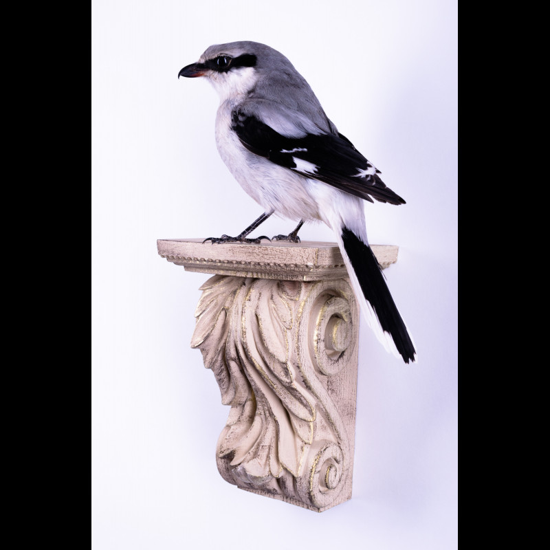 Wolf Siberian Rug Taxidermy Mount For Sale