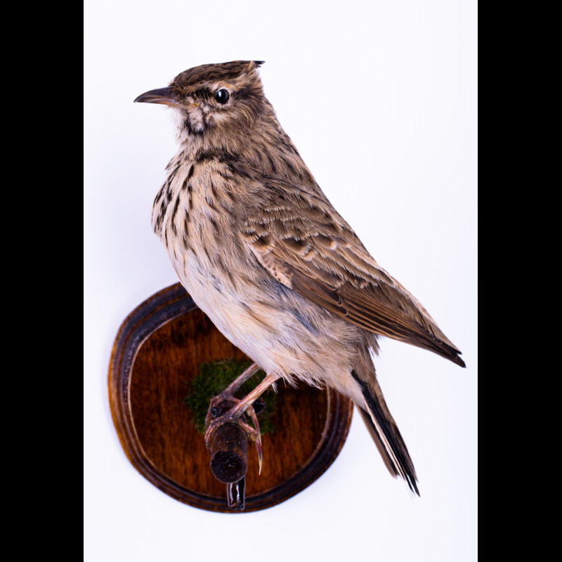 Eastern Steppe Buzzard with duck Taxidermy Mount For Sale