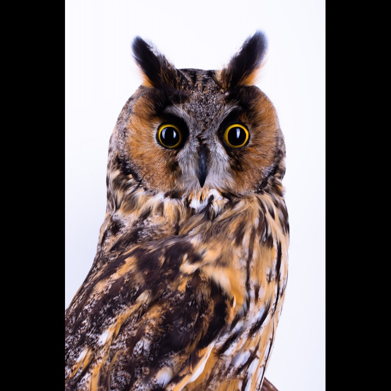White-tailed eagle with moose horn Taxidermy Mount For Sale