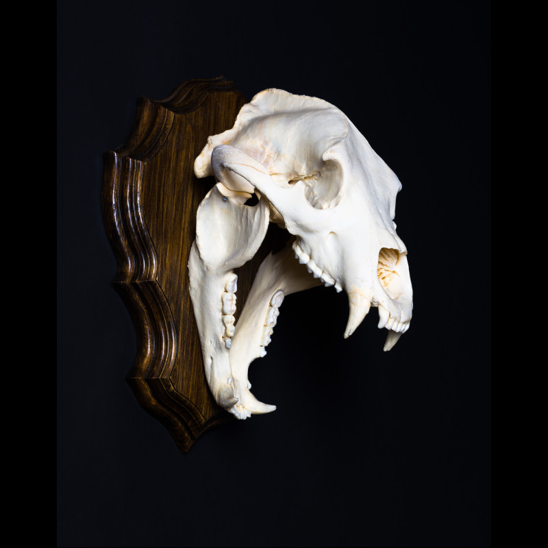 Far Eastern bear Claws and Paws Taxidermy  For Sale