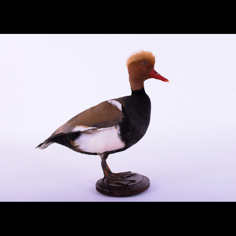 Red-crested pochard Taxidermy Mount For Sale