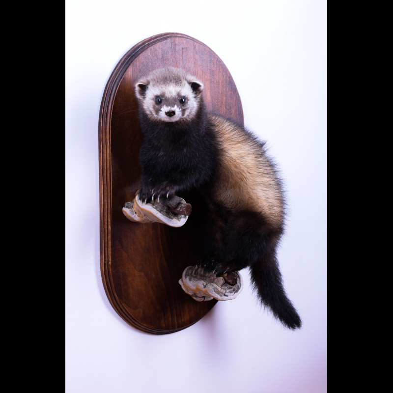 Ferret Taxidermy Mount For Sale