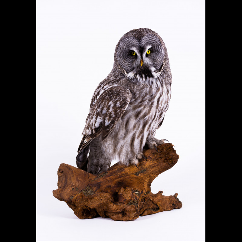 Long-eared owl Taxidermy Mount For Sale
