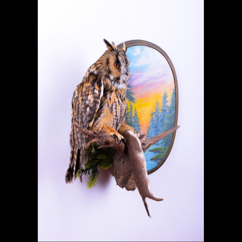 Long-eared owl with Stoat Taxidermy Mount For Sale