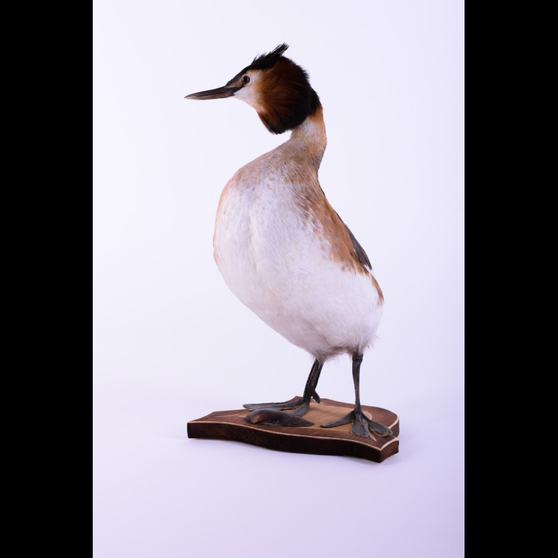 Great crested grebe Taxidermy Mount For Sale