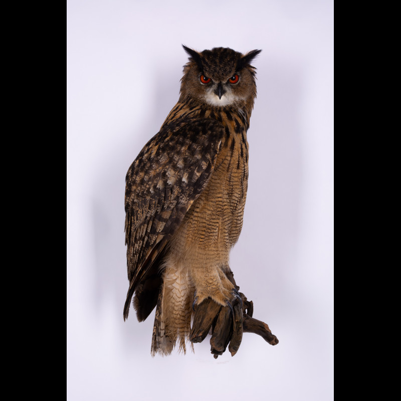Bee-eater Taxidermy Mount For Sale