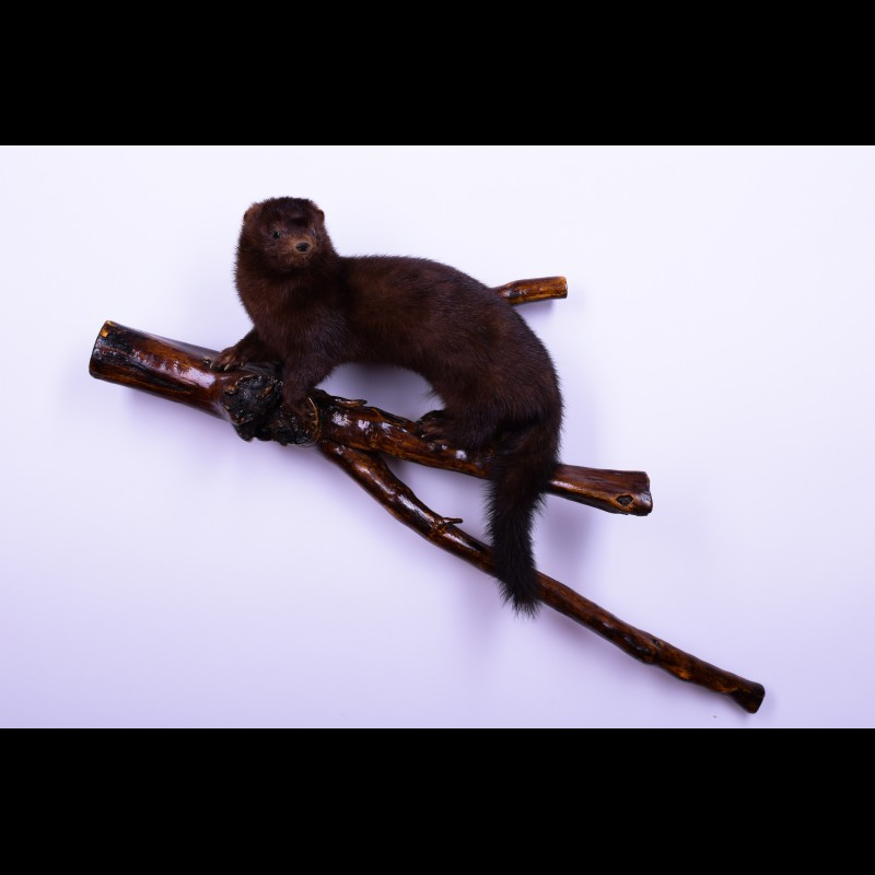 Russian mink Taxidermy Mount For Sale