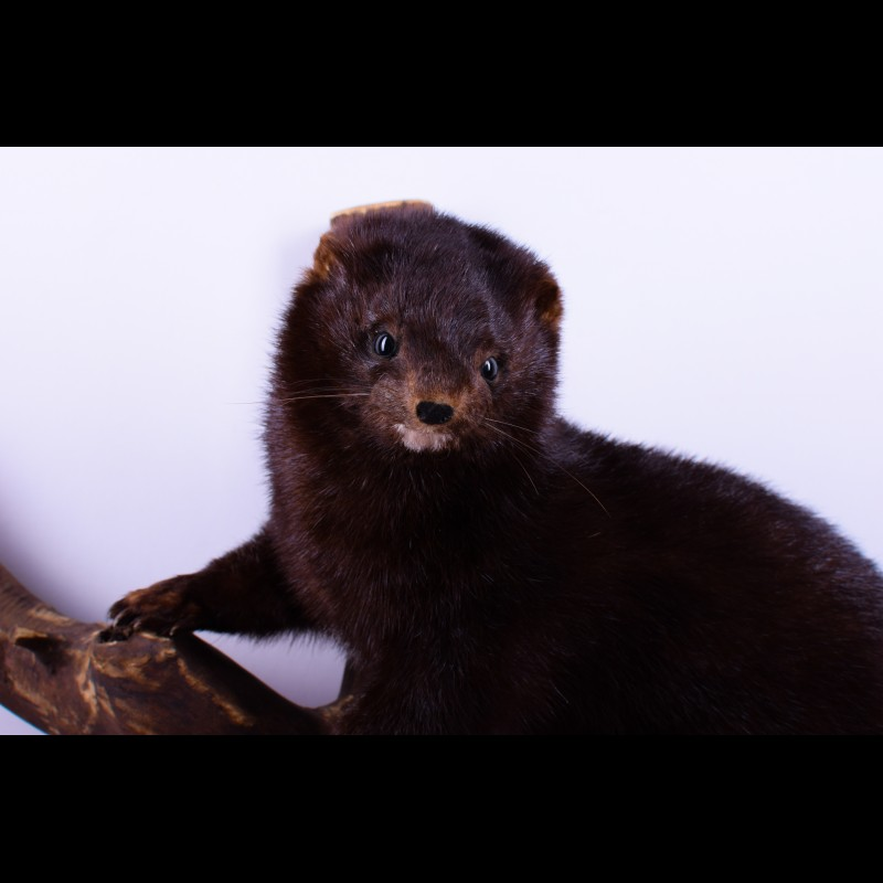 Polecat Taxidermy Mount For Sale