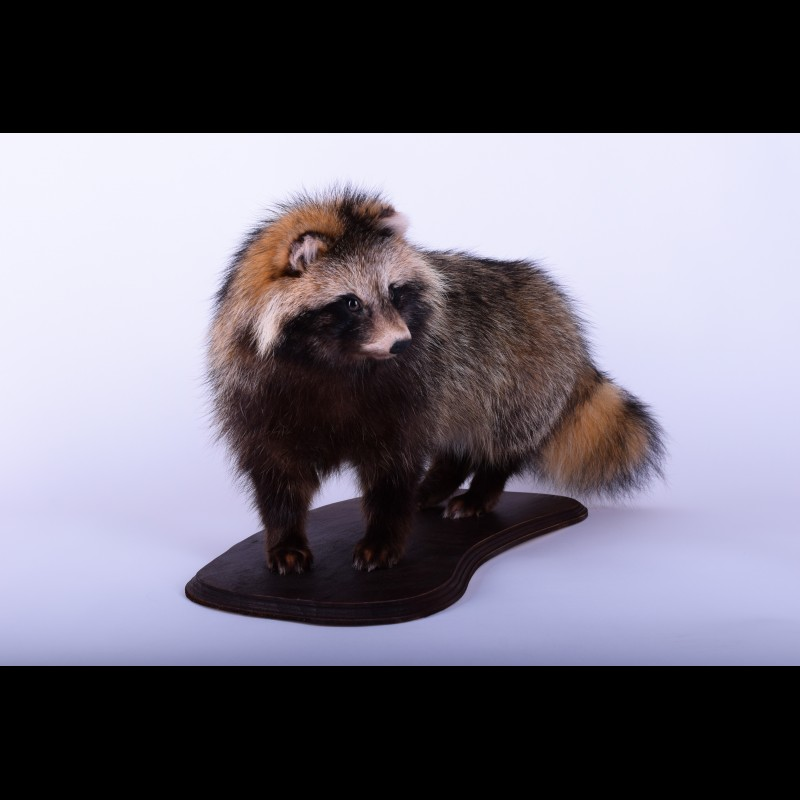 Raccoon dog  Taxidermy Mount For Sale