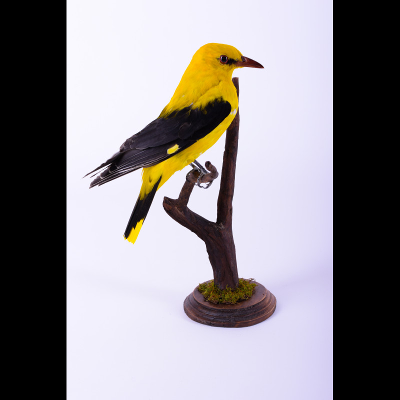 Golden oriole Taxidermy Mount For Sale