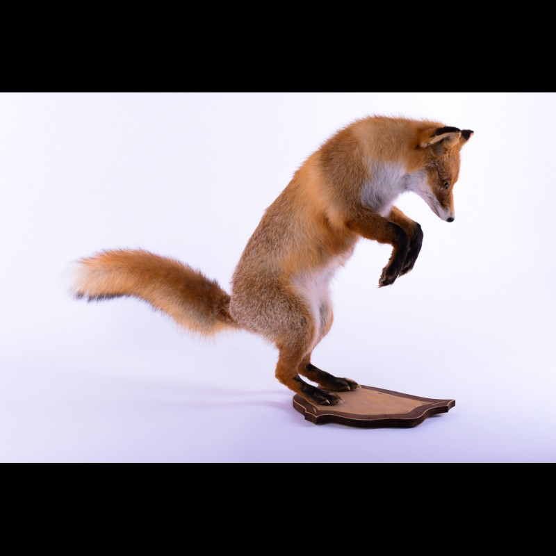 Red fox Taxidermy Mount For Sale
