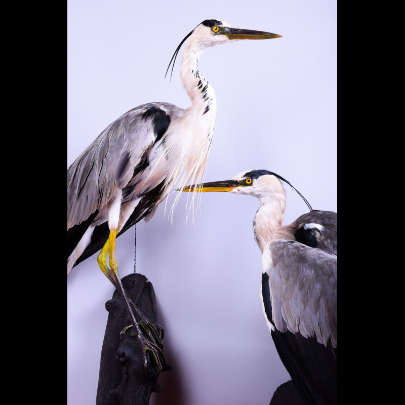 Gray Heron Pair Egret Taxidermy Mount For Sale