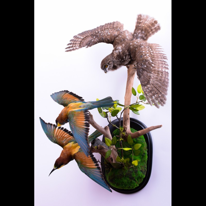 Little owl with Bee-eater Taxidermy Mount For Sale
