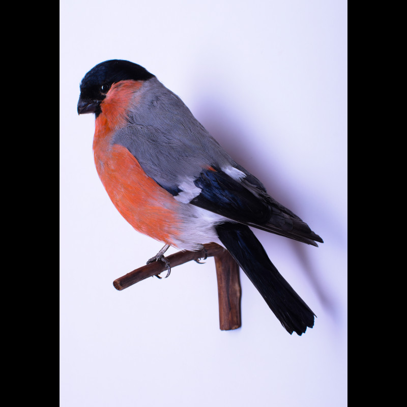 Bullfinch Taxidermy Mount For Sale