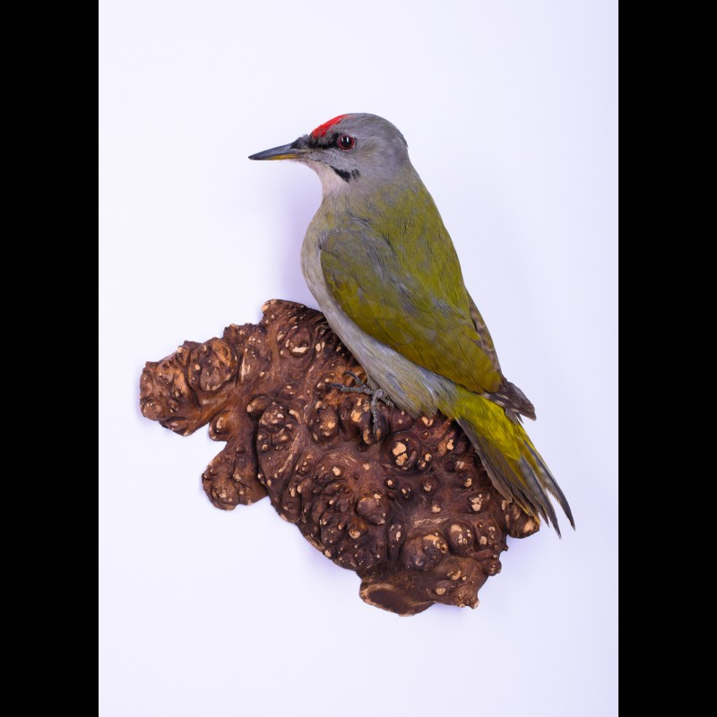 Woodpecker Taxidermy Mount For Sale