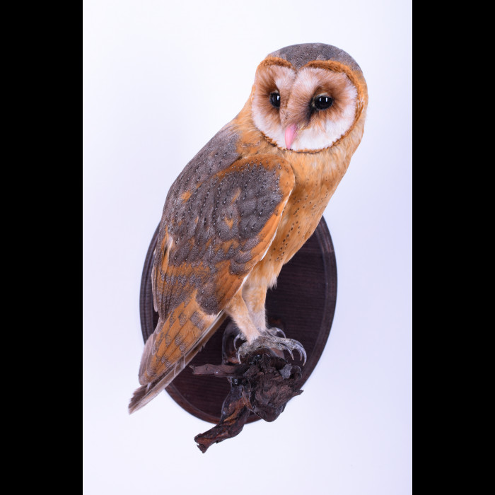 Barn owl Taxidermy Mount For Sale
